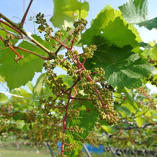 白百合醸造 春のワイン畑作業体験